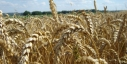 Врожайність української пшениці на третину перевищила американську