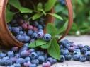 Україна б'є власні рекорди з вирощування чорниці